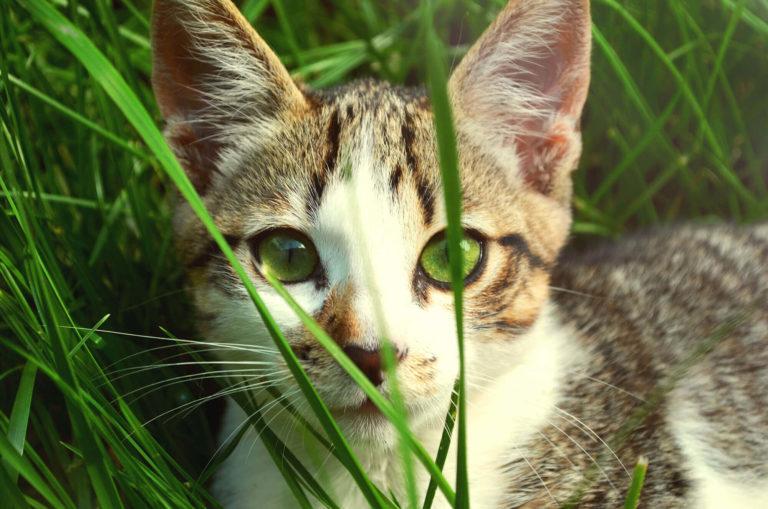 gato entre la hierba