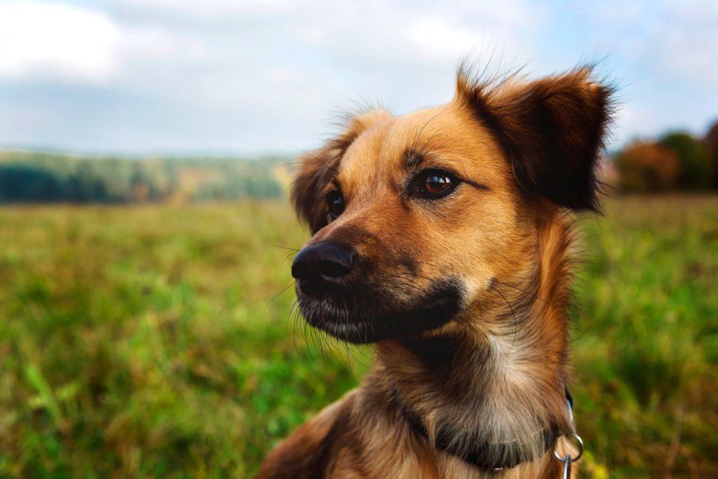 perro kromfohrlander en campo primer plano