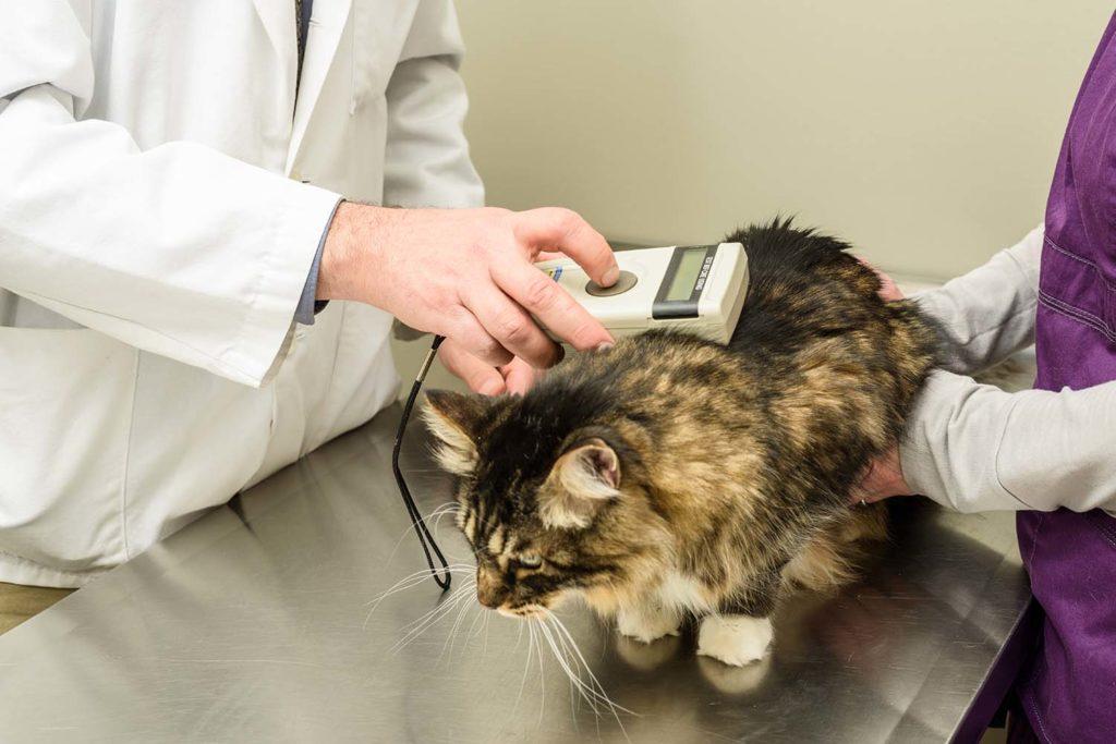 lectura microchip a gato