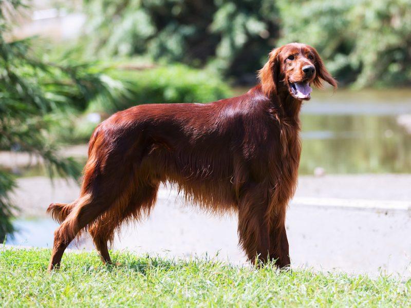 Parasitos caninos